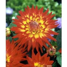 Wholesale flowers from FiftyFlowers.com - Bicolor Yellow and Red Dahlia Flower