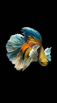 PRODAC BETTA FOOD is a compound feed in granules for all Betta splendens. Read more on our WEBSITE www.it - The Siamese fighting fish (Betta splendens), also sometimes colloquially known as the Betta, is popular as an aquarium fish. Pretty Fish, Beautiful Fish, Animals Beautiful, Betta Fish Types, Betta Fish Care, Betta Food, Betta Fish Tattoo, Ocean Creatures, Exotic Fish