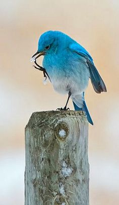 Pretty little blue bird. Not sure what kind of blue bird he is, but I love this shot. Cute Birds, Pretty Birds, Beautiful Birds, Animals Beautiful, Simply Beautiful, Exotic Birds, Colorful Birds, Animals And Pets, Cute Animals