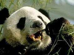 oso-panda-ailuropoda-melanoleuca-alimentacion