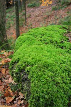 Hypnum - zelený až žlutohnědý mech.