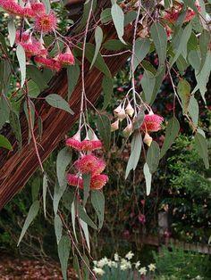 Gungurra (Silver Princess) Tapestry Canvas/Bell Pull - 1983 by Baxtergrafik Australian Wildflowers, Australian Native Flowers, Australian Plants, Australian Bush, Australian Garden Design, Australian Native Garden, Bush Garden, Native Australians, Tree Seeds
