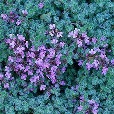 Thyme. Compact forms make a good ground cover