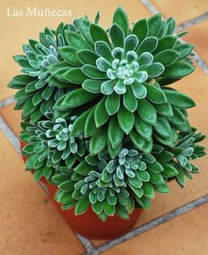 Echeveria Silvergreen succulents