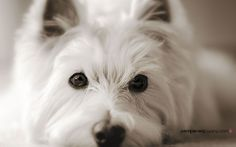 Free dog wallpaper - Westie looking right into the camera
