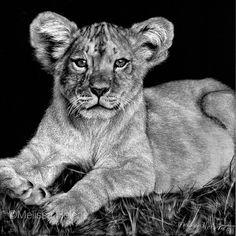 Lion Cub | Melissa Helene 5x5 scratchboard www.melissahelene.com