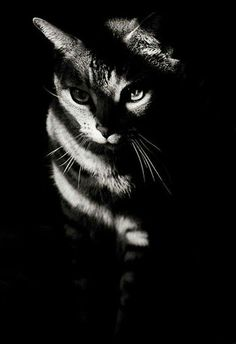 crescentmoon b & w striped cat The post crescentmoon b & w appeared first on Katzen. Crazy Cat Lady, Crazy Cats, Beautiful Cats, Animals Beautiful, Animals And Pets, Cute Animals, Ninja Cats, Gatos Cats, Photo Chat