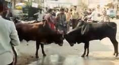 In vain, this drunk guy decided to fight a fight between two bulls