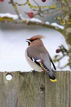 Cedar Waxwing- one of my favorite birds Kinds Of Birds, All Birds, Little Birds, Love Birds, Pretty Birds, Beautiful Birds, Animals Beautiful, Cute Animals, Funny Animals