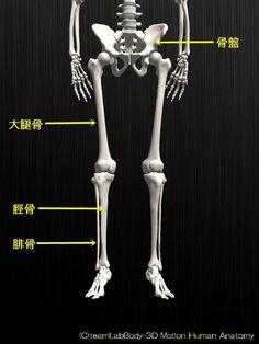 人の骨の名称を解剖のイラスト図下半身