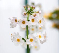 [Macro] J'aime les fleurs les insectes les petites choses... Petit à petit j'apprends à les photographier... #macro #flowers #fleurs #picoftheday #photodujour #lundifleuri #canon #canonphoto #defi365  #white #serresroyalesdelaeken #laeken #bruxelles #brussels