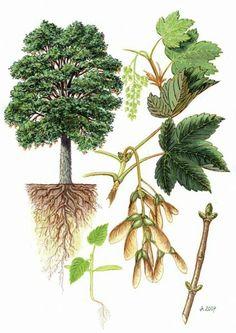 Javor klen (Acer pseudoplatanus) Science Illustration, Tree Illustration, Botanical Illustration, Garden Trees, Trees To Plant, Autumn Activities For Kids, Poisonous Plants, Plant Identification, Tree Forest