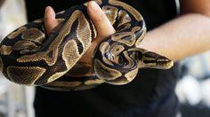 Slanger, øgler og skilpadder blir tillatt som kjæledyr i Norge - Aftenposten