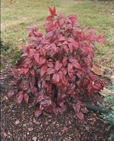 Nana Nandina  small evergreen shrub  vivid green foliage turns brilliant red for fall and winter  very tough and durable plant  full sun to part sun; grows 2-3' tall X 2-3' wide