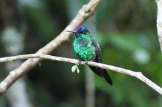 Foto beija-flor-de-fronte-violeta (Thalurania glaucopis) por Ivan Angelo | Wiki Aves - A Enciclopédia das Aves do Brasil