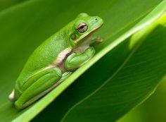Sleepy Frog by Lorraine Hudgins, via 500px