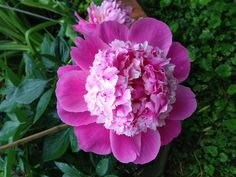 Pink Derby Peony, young bloom