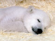 cool Ice Bear Sleeping Free Download Image