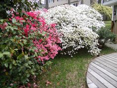 Azaleas: Landscaping in N. C. consisted of many trees, bushes, many types. Phlox prevalent.