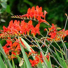 Crocosmia 'Lucifer'  Summer flower brings humming birds