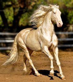 Un cheval Akhal Teke                                                                                                                                                                                 More
