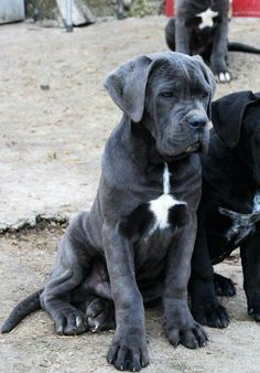 Check out a some of our amazing Featured Cane Corso Breeds we Love! Giant Dog Breeds, Giant Dogs, Best Dog Breeds, Big Dogs, Cute Dogs, Dogs And Puppies, Doggies, Chien Cane Corso, Cane Corso Mastiff