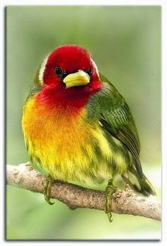 Rainbow¨ - Red-headed Barbet