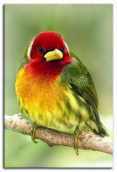 Rainbow¨ - Red-headed Barbet