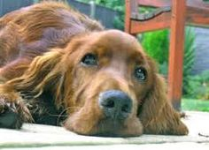 Image result for irish setter puppies