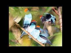 Dance of the blue manakin