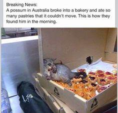 オーストラリア:ベーカリーに忍び込んだフクロネズミ。ペーストリーを大量に食べ過ぎ、身動きできず。この状態で朝、見つかったそう...