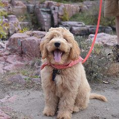"""Making pals at the Palisades"" writes @gusgus thegoldendoodle. Gus is the newest member of the @dogsofinstagram / @lucyand.co team! #firsthike #dogsofinstagram #followback #love #dog"