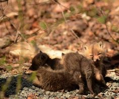 Baby foxes found in an NJ backyard - Imgur