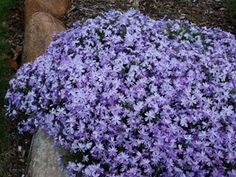 """Creeping Phlox Emerald Blue Mat-forming evergreen groundcover 100's of fragrant blue flowers in late spring Thrives in tough soil sites Excellent for banks & slopes View all Groundcovers Zone 3,4,5,6,7,8,9 Blooms Late Spring-Early Summer 4-6"""" X 18-24"""""""