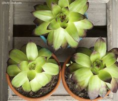 Succulents in painted terra cotta pots and cigar boxes
