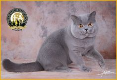GC, NW She Li Cat Momotaro, Blue Male British Shorthair - 16th Best Cat in China