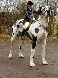 the biggest dog in the world - Google Search