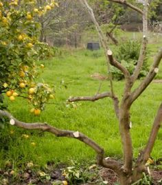 Hard pruning for neglected citrus trees