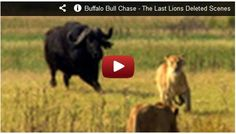 Buffalo Bull chase a Lion! Watch here:  http://gdurl.tk/Cu