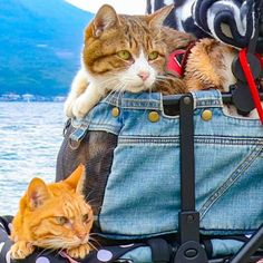 Cats Fuku-Chan and Daikichi find fame travelling around the world - Ego - AlterEgo Travel Around The World, Around The Worlds, Travelling, Cats, Photography, Gatos, Photograph, Kitty, Cat