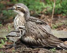 Related image Australia Animals, Birds, Image, Australian Animals, Bird