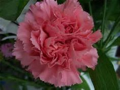 Carnation  Growing Carnations