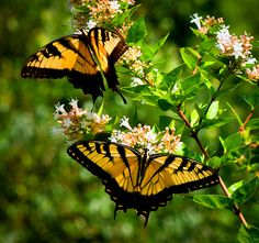 Tiger swallow-tail butterflies