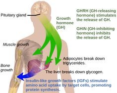 Effects of growth hormone