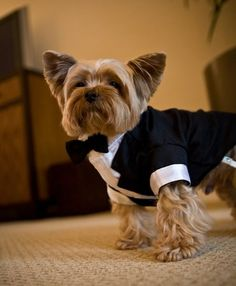 Another adorable dog in a tux