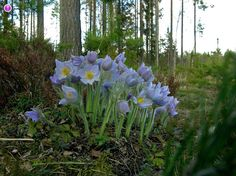 spring spreading sway as the flowers sway in the wind : Pulsatilla patens x vernalis Fungi, Botany, Finland, Wild Flowers, Woodland, Natural Beauty, Nature, Flora, Environment