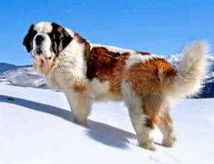 Saint Bernard Dogs and Puppies Pictures