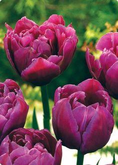 Double Early Tulip Margarita