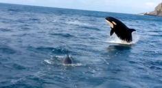 Cabo San Lucas boaters enjoy rare killer whale encounter.