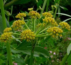 Lovage//Levisticum officinale Want an easy-to-grow source for celery ...